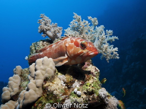 Black tip grouper by Olivier Notz 